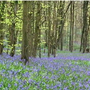 Spring bluebells in Crabwood